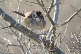 Photo of Swamp Sparrow (April)