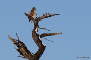 Photo of Red-tailed Hawk