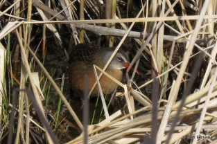 Photo of Virginia Rail