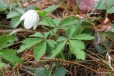 Photo of Wood Windflower