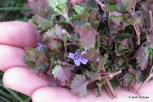 Photo of Spring handful of Gill-over-the-ground