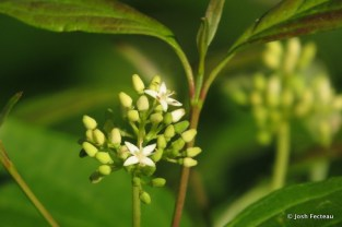 Photo of Gray Dogwood