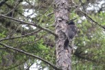 Photo of American Three-toed Woodpecker