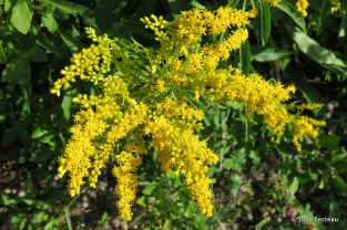 Photo of Early Goldenrod