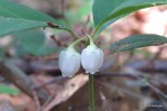 Photo of Eastern Spicy-wintergreen