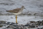 Photo of Lesser Yellowlegs