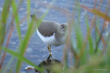 Photo of Spotted Sandpiper