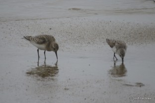 Photo of Baird's (left) and Semipalmated Sandpiper