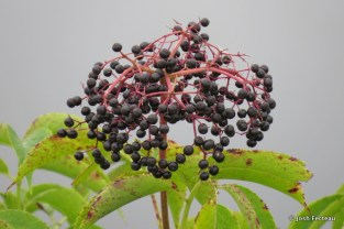 Photo of Black Elderberry
