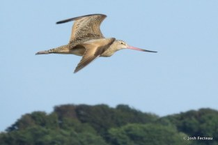 Photo of Marbled Godwit
