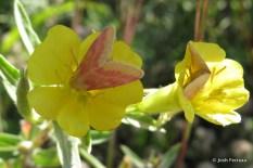 Photo of Primrose Moths