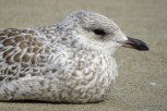 Photo of Ring-billed Gull
