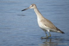 "Photo of ""Western"" Willet"