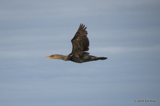 Photo of Double-crested Cormorant
