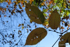 Photo of American Hornbeam leaves