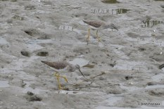 Photo of Greater (bottom) and Lesser Yellowlegs
