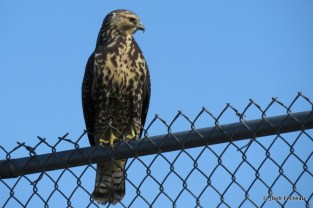 Photo of Swainson's Hawk