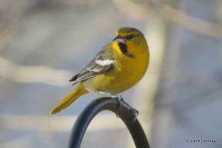 Photo of Bullock's Oriole