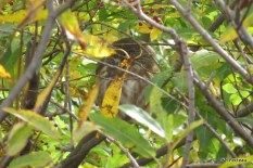 Photo of Northern Saw-whet Owl