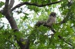 Photo of Barred Owl (juvenile)