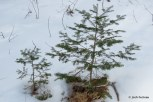 Photo of Balsam Fir saplings