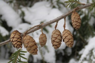 Photo of Eastern Hemlock cones