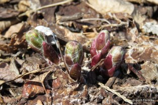 Photo of Coltsfoot flower buds