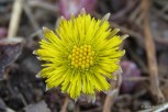 Photo of Coltsfoot flower head