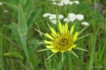 Photo of Fistulous Goat's-beard flower and fruit