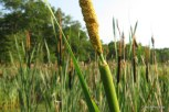 Photo of Narrow-leaved Cat-tails releasing pollen