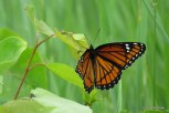 Photo of Viceroy butterfly
