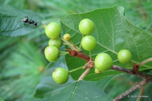 Photo of Glossy False Buckthorn