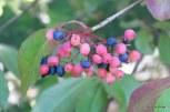Photo of Withe-rod unripe fruit