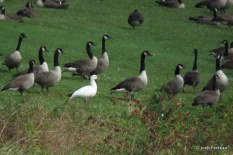 Photo of Ross's Goose with Canada Geese