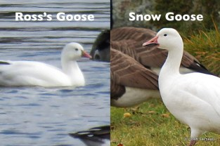 Photo of Ross's & Snow Goose comparison