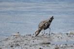 Photo of American Golden-Plover
