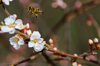 Bee Hovring Above Flower