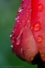 Water Droplets on Red Flower
