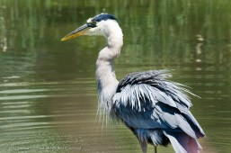 Great Blue Heron by the Water