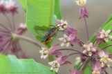 Insect Drinking from Milkweed