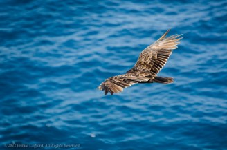 Bird's Eye Turkey Vulture