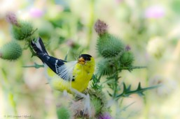 Gold Finch on a Thistle