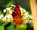 Red and Black Butterfly on White Flower