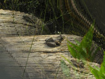 frog on a log artistic2