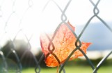 Leaf in the Fence