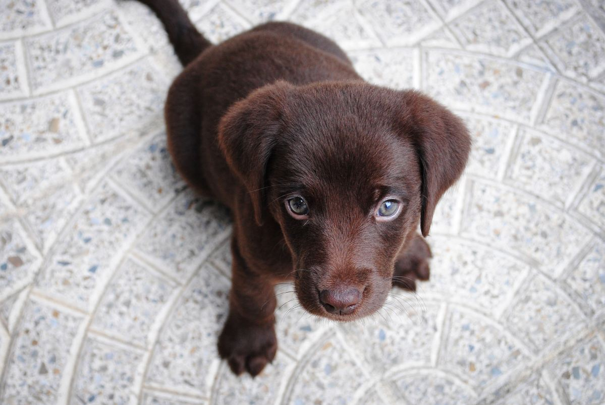 chocolate-puppy-looking-up-to-camera