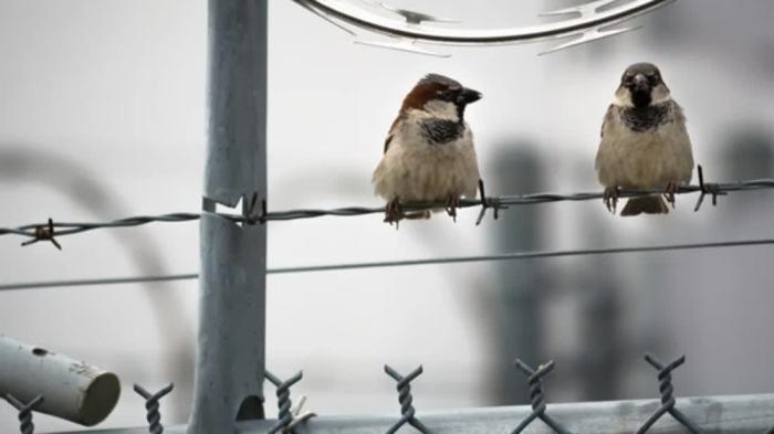city sparrows