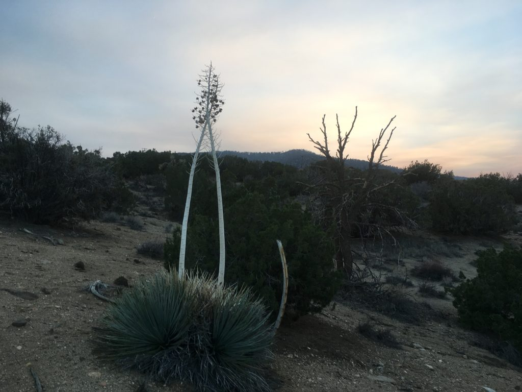 Hesperoyucca against the sunset in Puma Canyon. (Photo by Jeremy Yoder.)