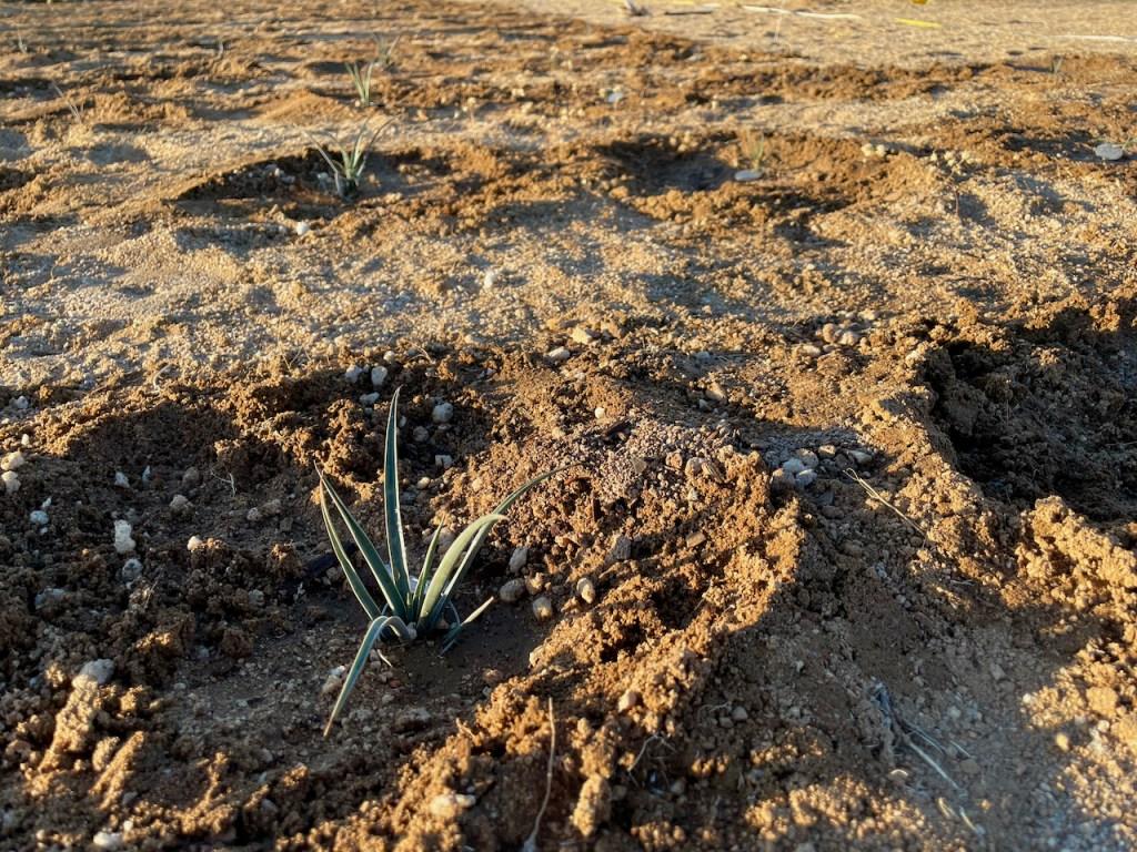 Joshua tree seedlings, tiny green shoots planted in rows in desert soil