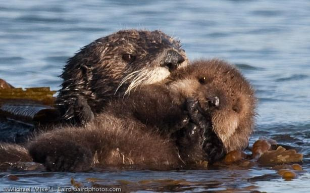 Sea Otter Mother with Pup Beside Morro Bay CA 14 Dec 2009